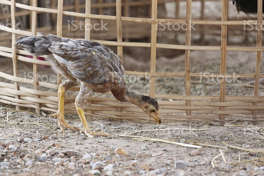 Chickens are foraging Beside Coop. stock photo