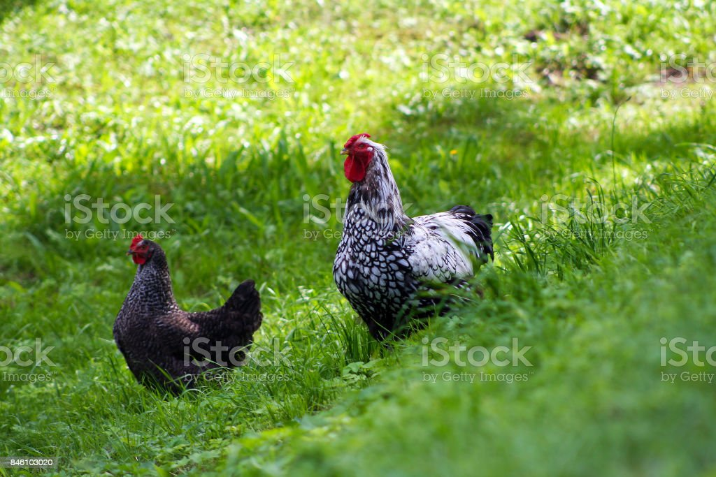 Chickens are grown freely stock photo