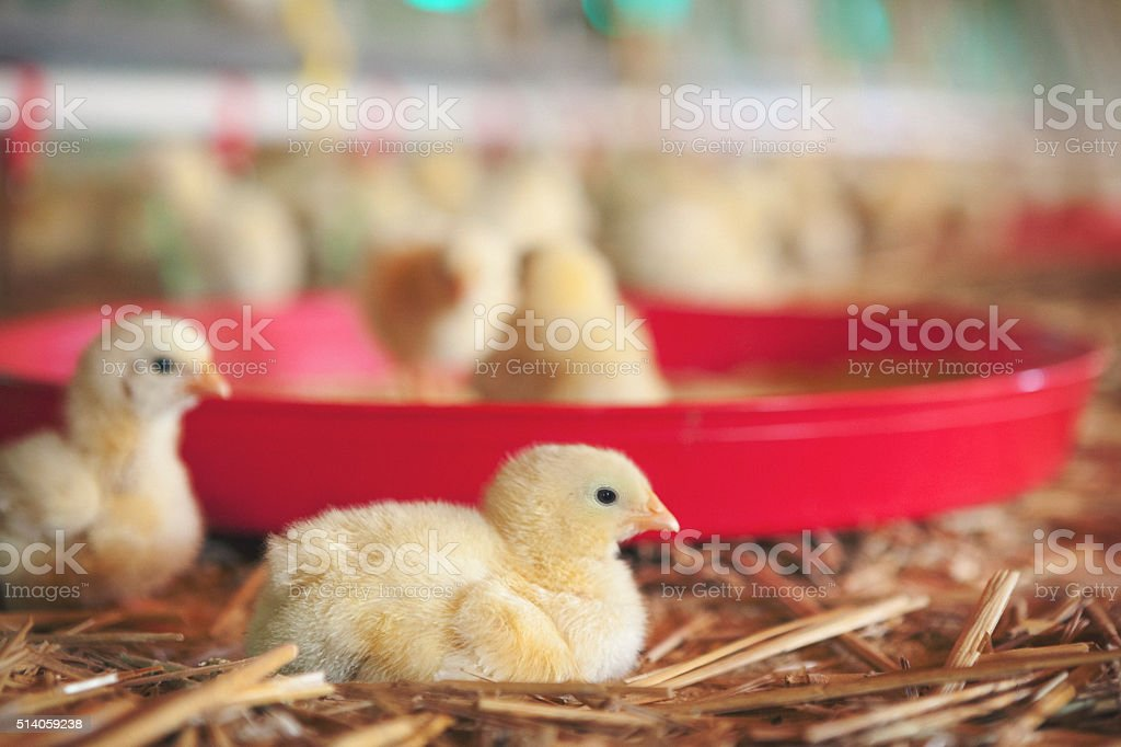Chickens at farm stock photo