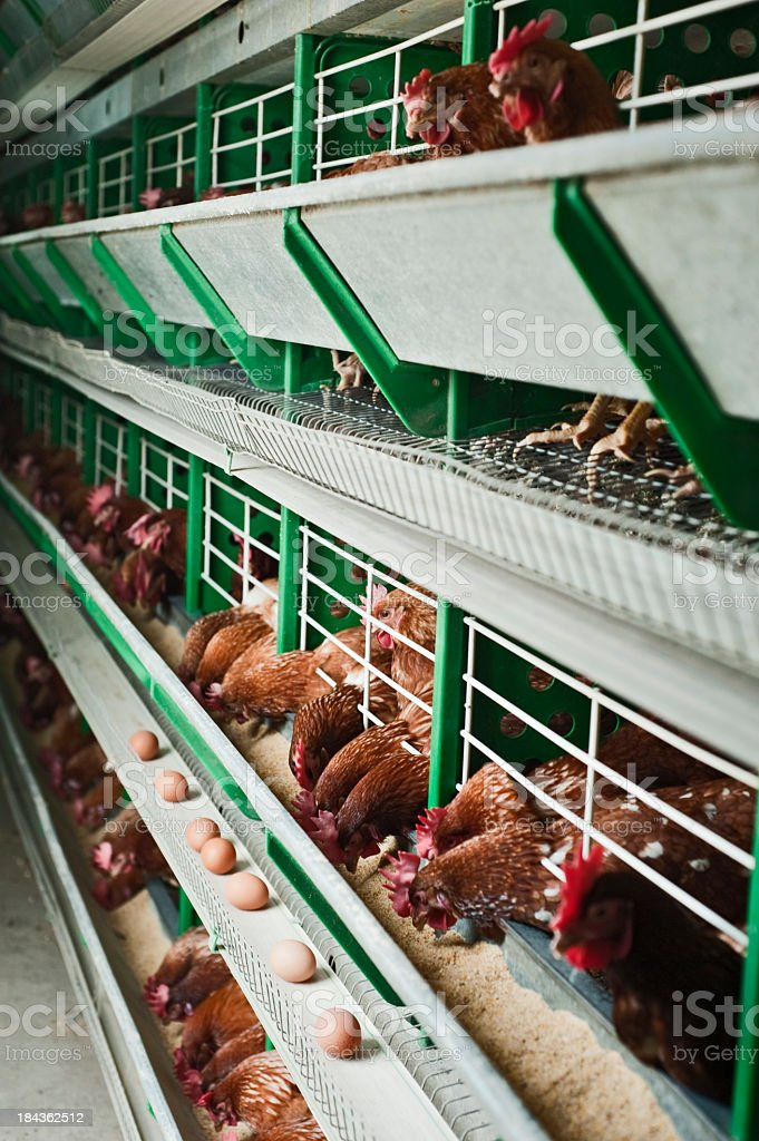 Chickens at the Perdue factory laying fresh eggs stock photo