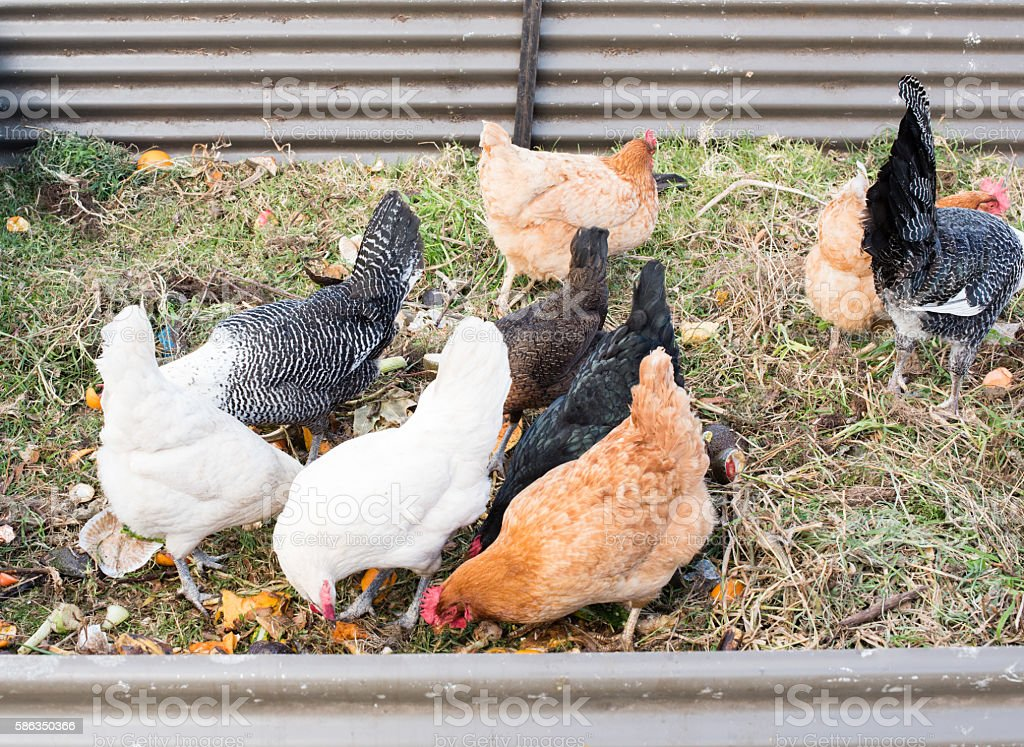 Chickens eating food scraps in pen stock photo