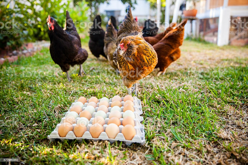 Chickens Eating in Background of Multi Colored Eggs stock photo