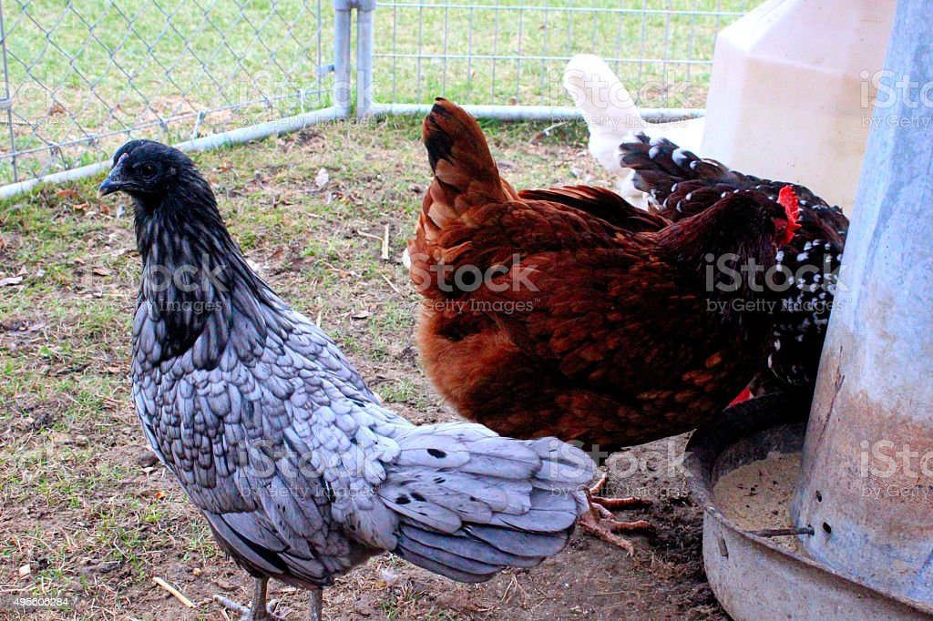 Chickens eating stock photo