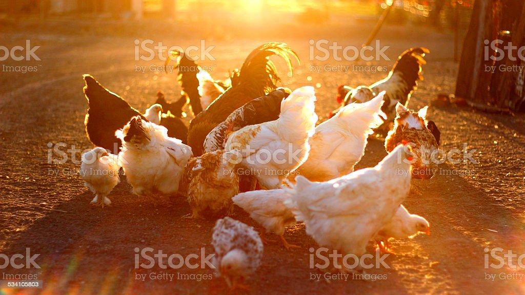 Chickens feeding on a Karoo farm stock photo