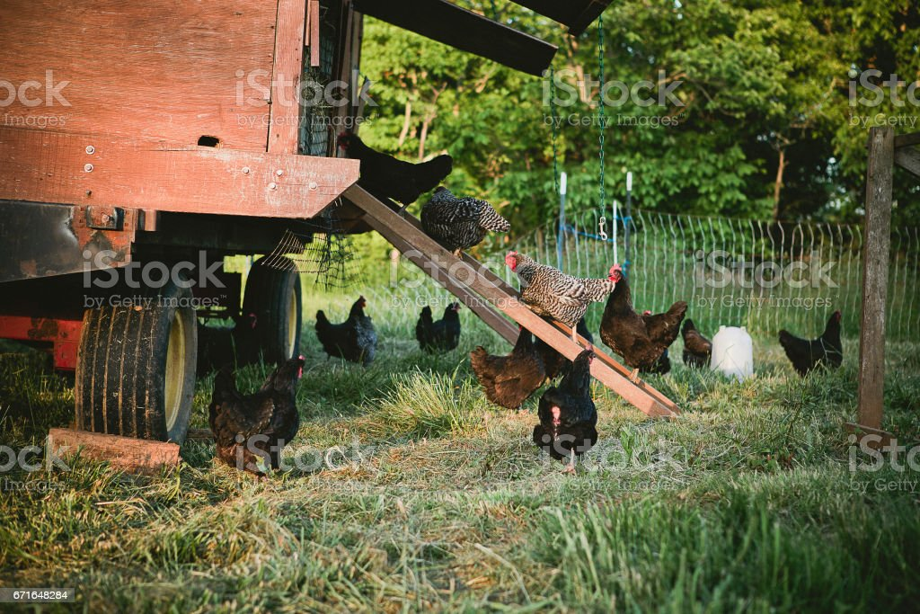 chickens going into a chicken coop stock photo