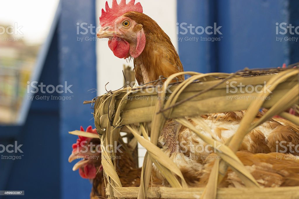 Chickens in a basket stock photo