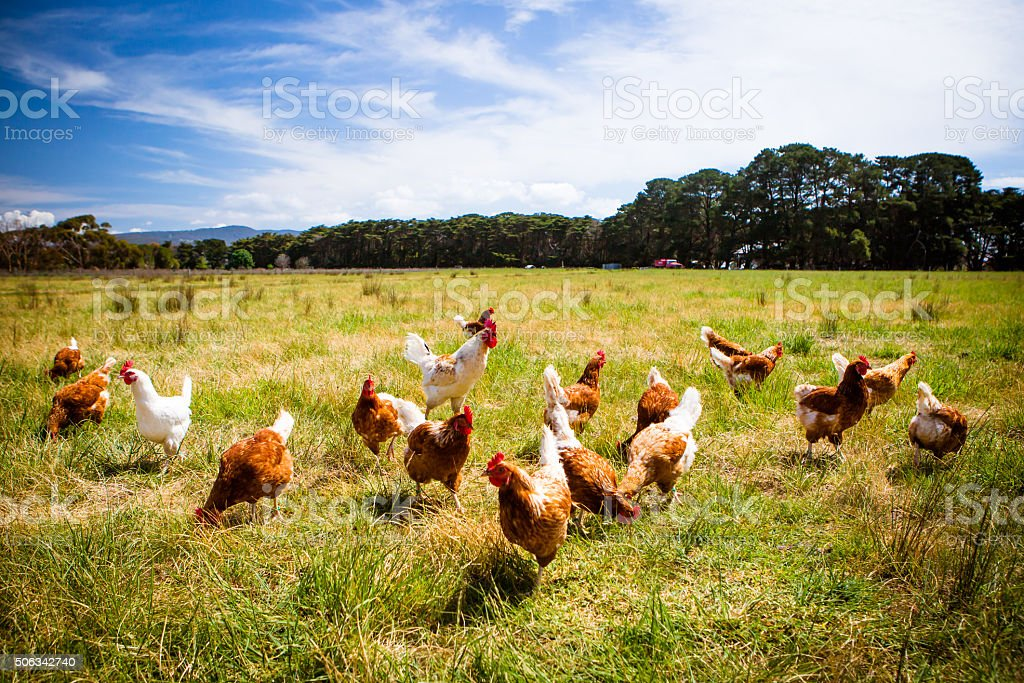 Chickens In A Field stock photo