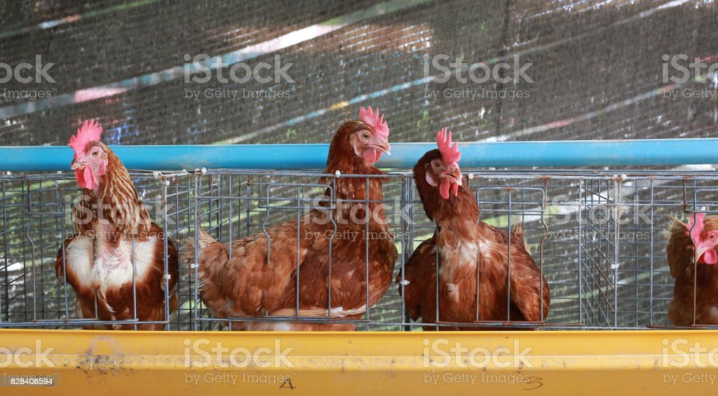 Chickens in battery cages laying eggs. stock photo