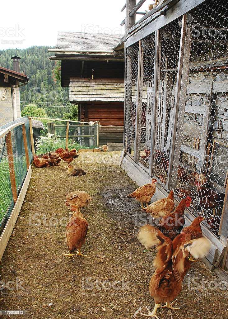 Chickens in Fenced Enclosure royalty-free stock photo