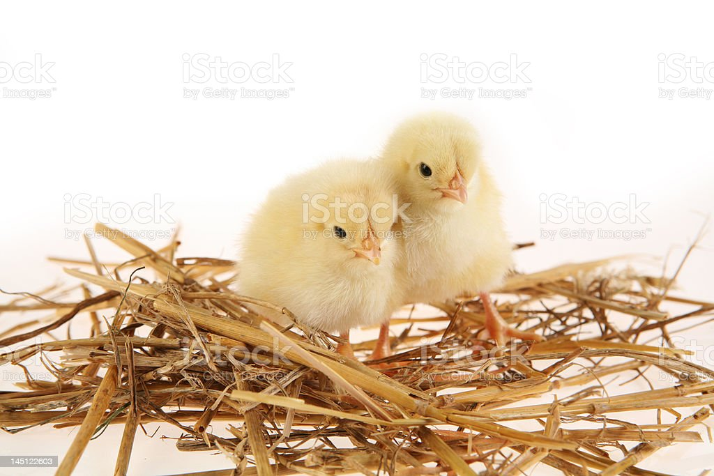 Chickens in nest royalty-free stock photo