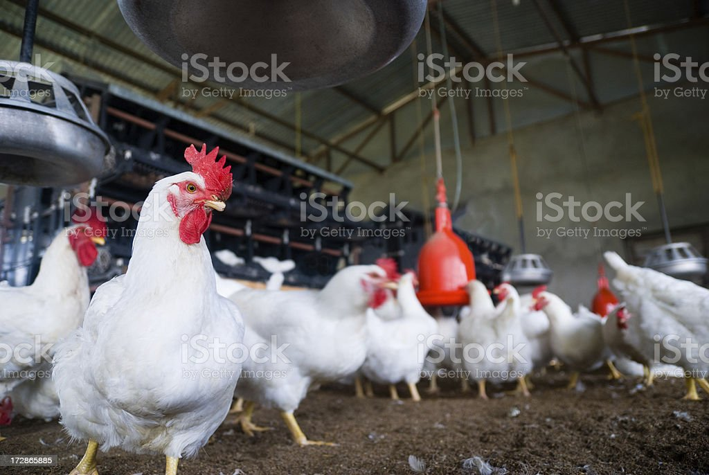 Chickens in Poultry Farm stock photo