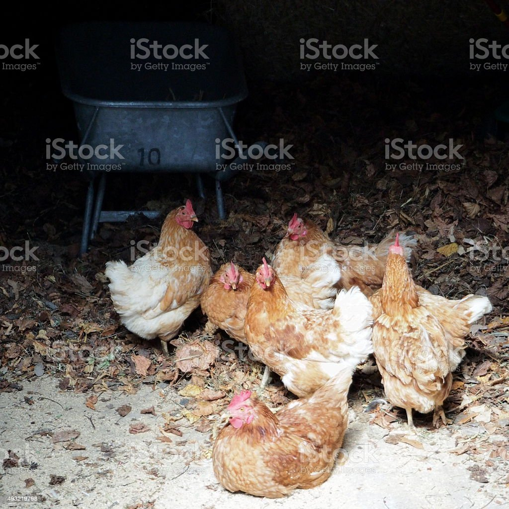 Chickens in the shed stock photo