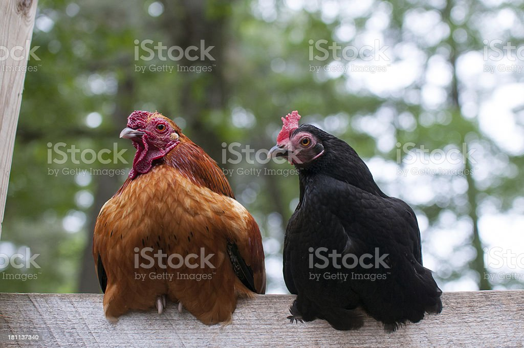 Chickens on a fence royalty-free stock photo