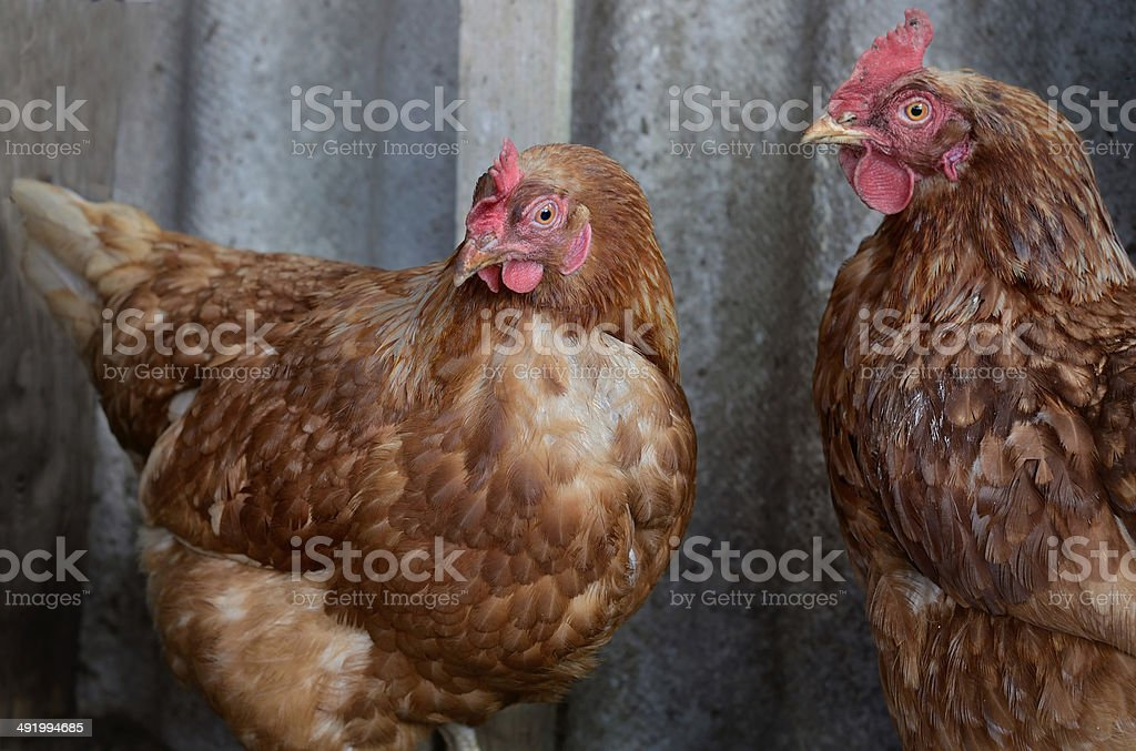 Chickens on a gray background stock photo