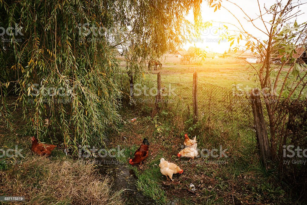 Chickens on organic farm stock photo