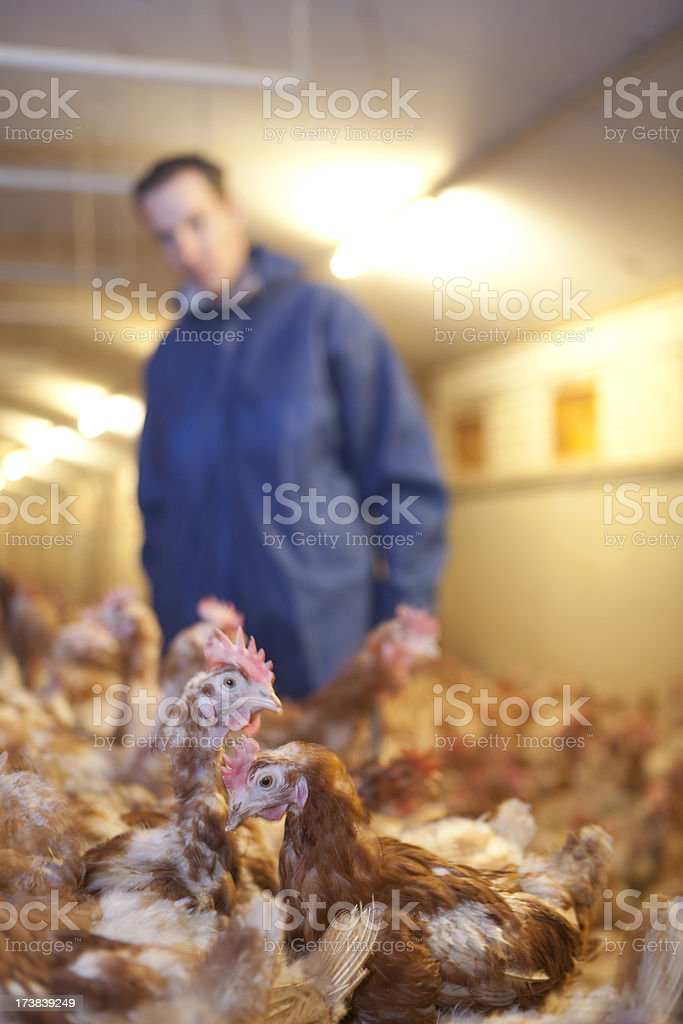 Chickens. royalty-free stock photo