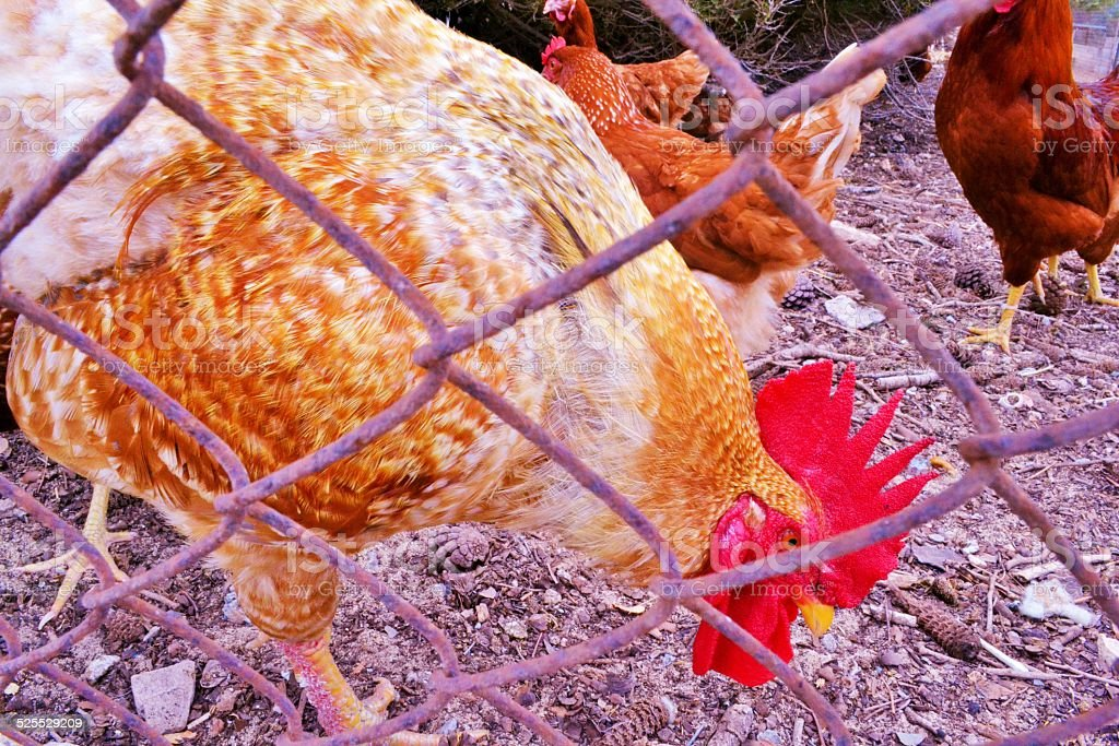 Chickens stock photo