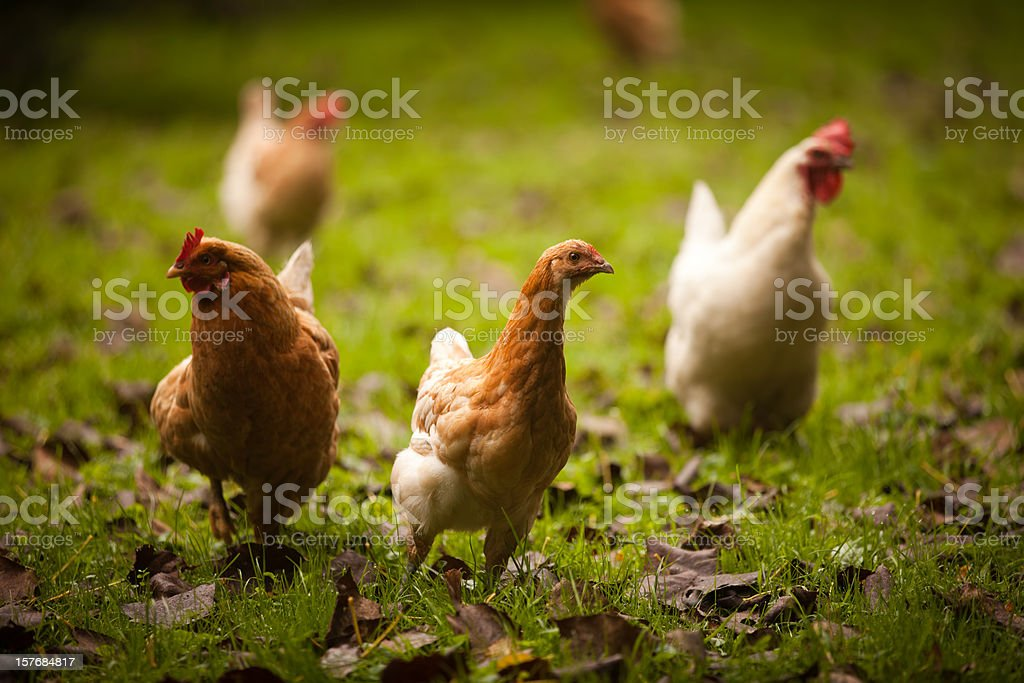Chickens posing stock photo