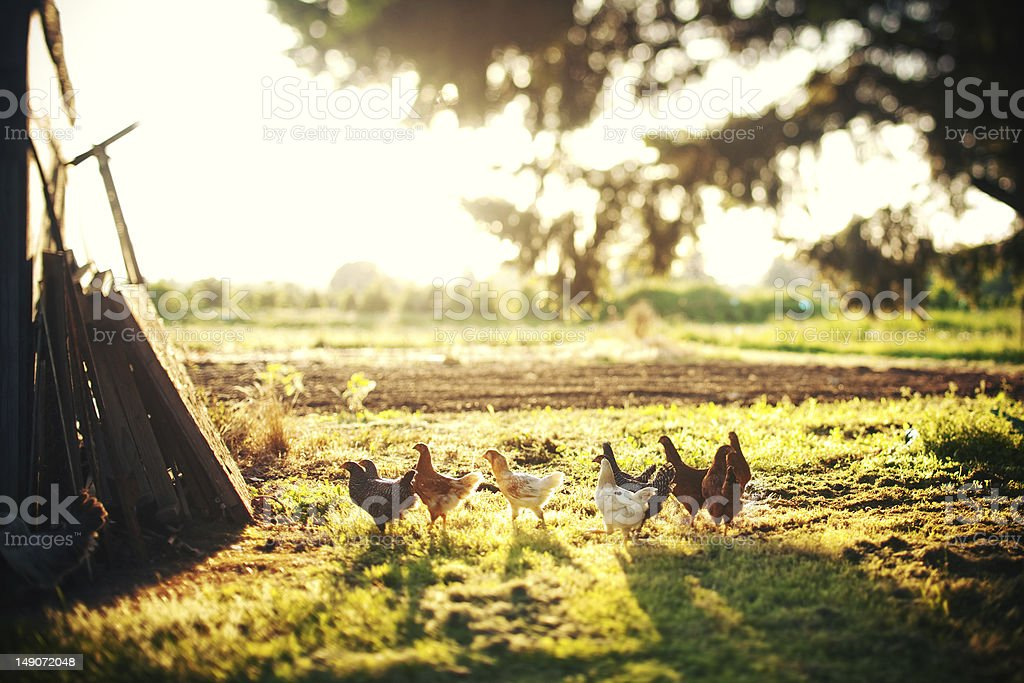 chickens relaxing on a nice summer day stock photo
