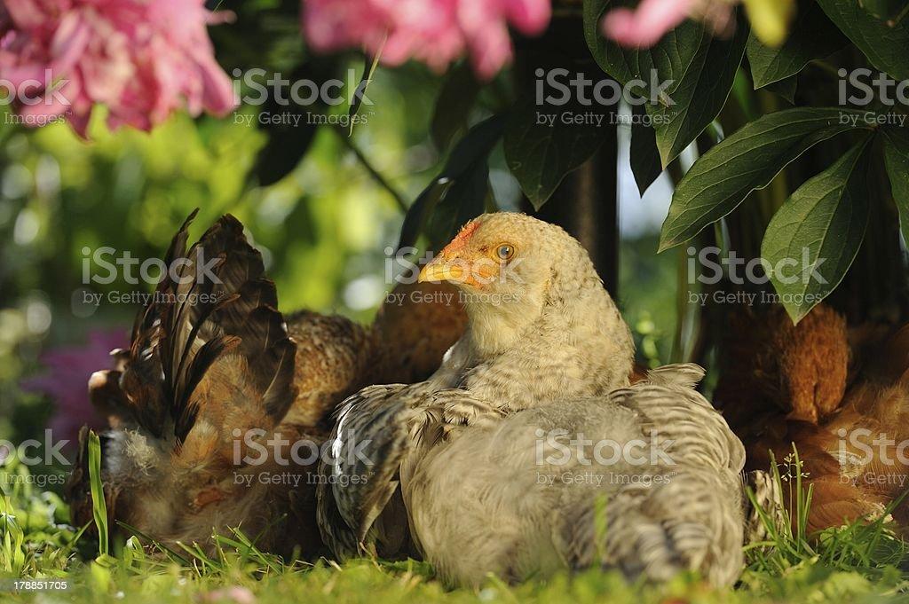 Chickens Sitting Under Bush royalty-free stock photo