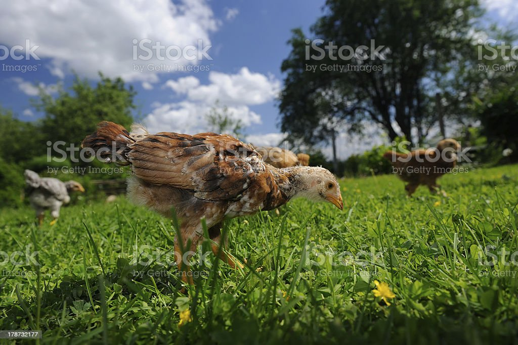 Chickens Walking in the Yard royalty-free stock photo