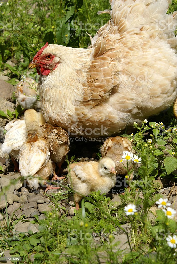 Chickens with mum royalty-free stock photo