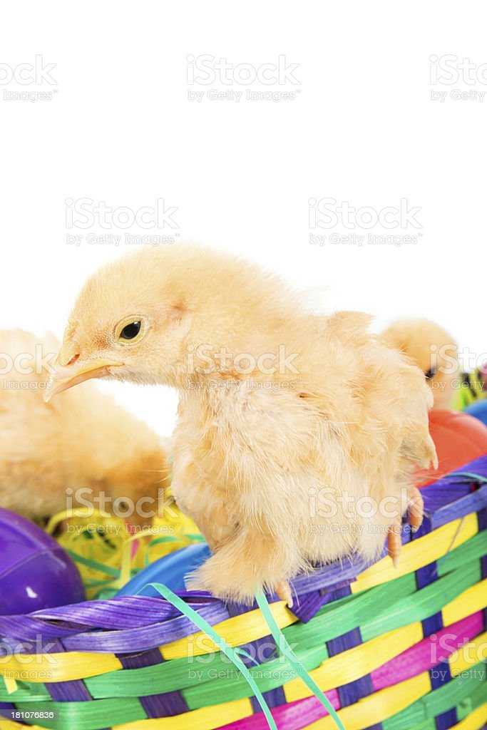 Chicks in a basket royalty-free stock photo