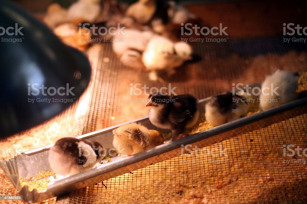Chicks in a feeder stock photo