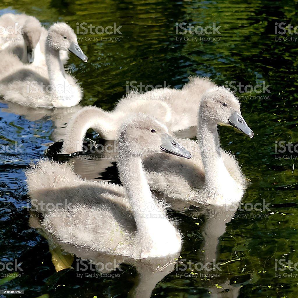 Chicks of a swan in the water royalty-free stock photo