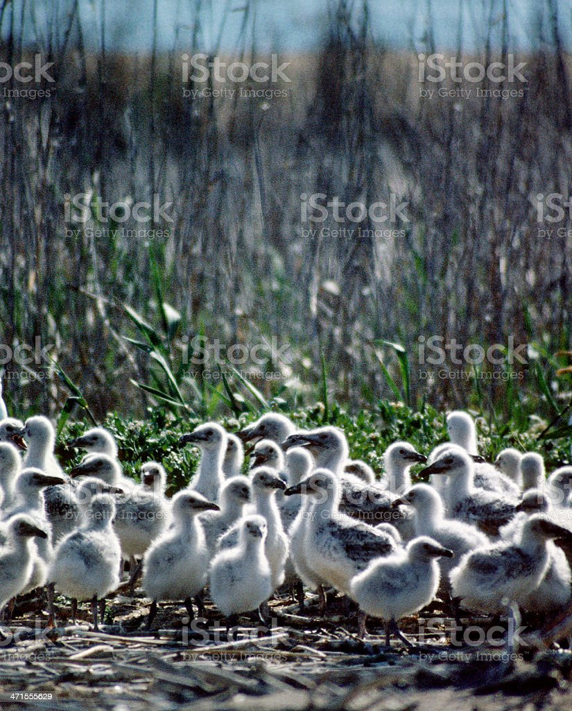 Chicks of gull . royalty-free stock photo