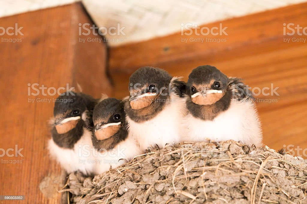 Chicks of swallow stock photo