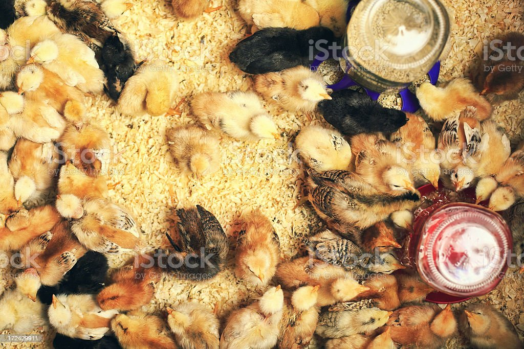 Chicks royalty-free stock photo