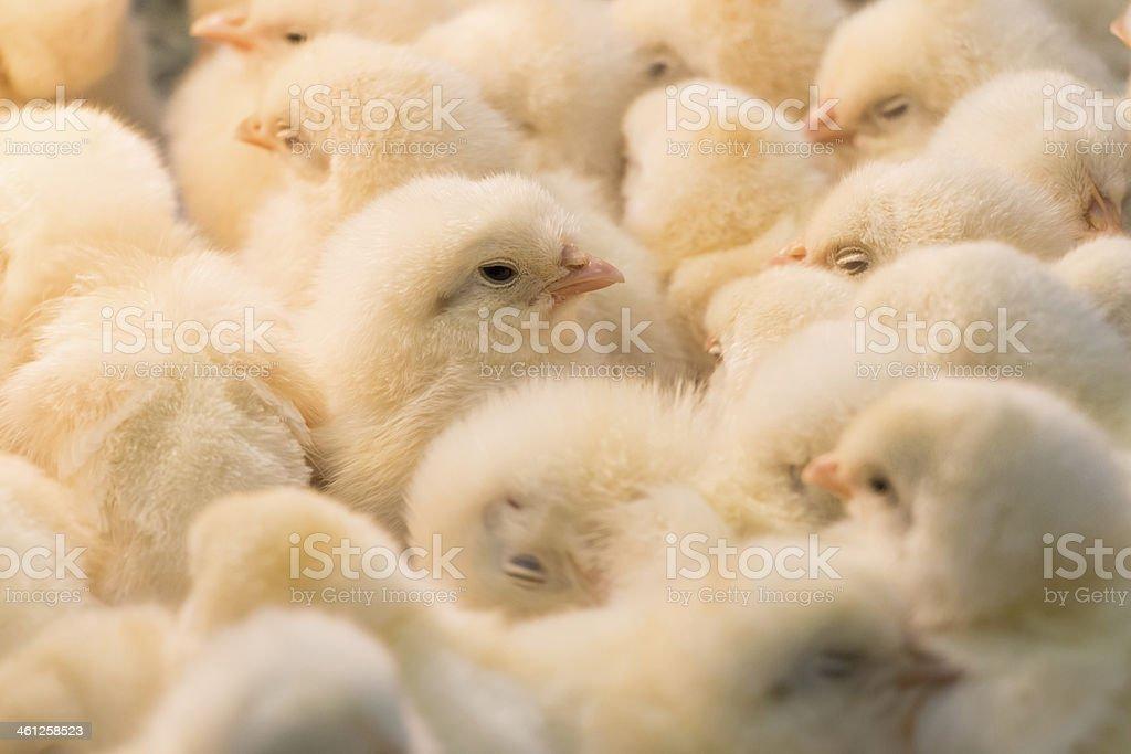 Chicks royalty-free stock photo