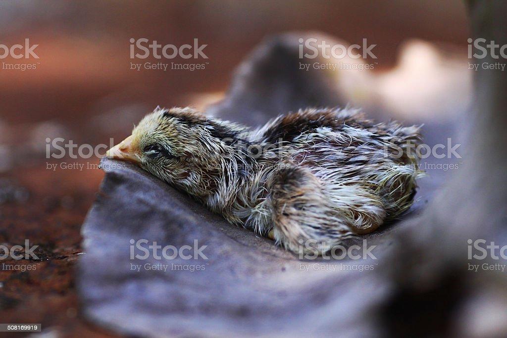 chicks stock photo