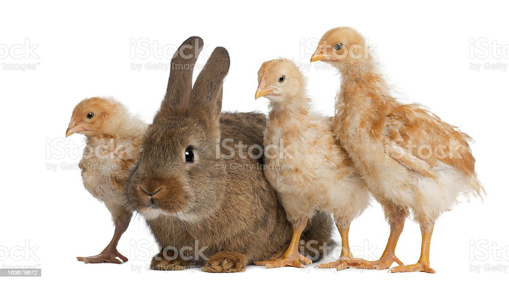 Chicks standing next to Rabbit against white background royalty-free stock photo