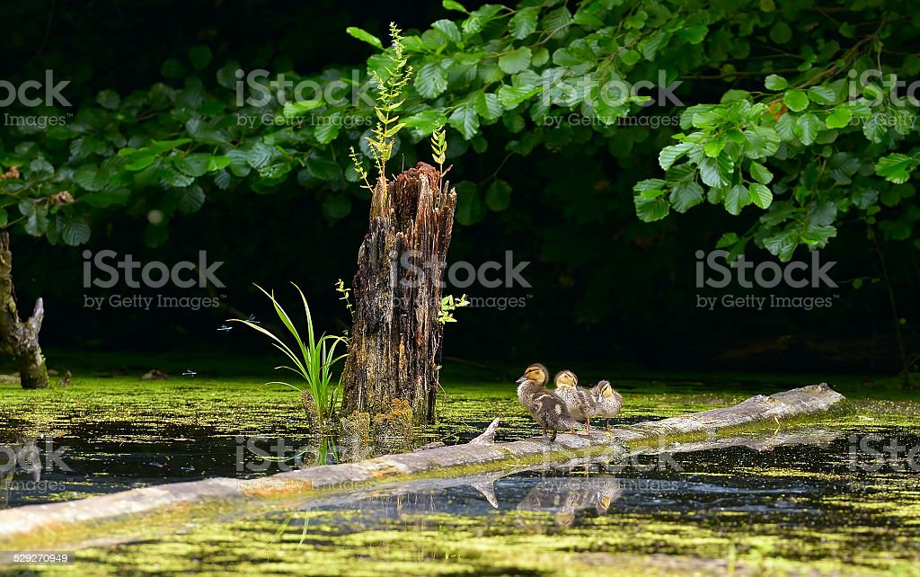 Chicks wild duck resting on a floating tree royalty-free stock photo
