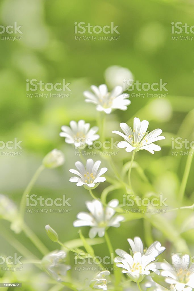 Chickweed flowers stock photo