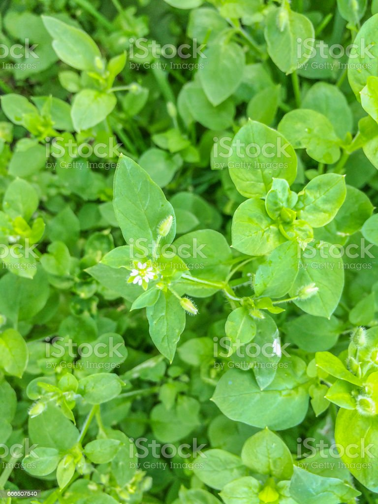 Chickweed or maruns stock photo