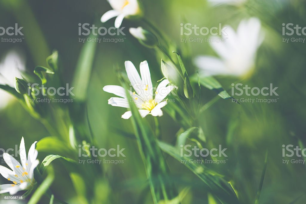 Chickweed /Stellaria holostea in spring on a green meadow stock photo