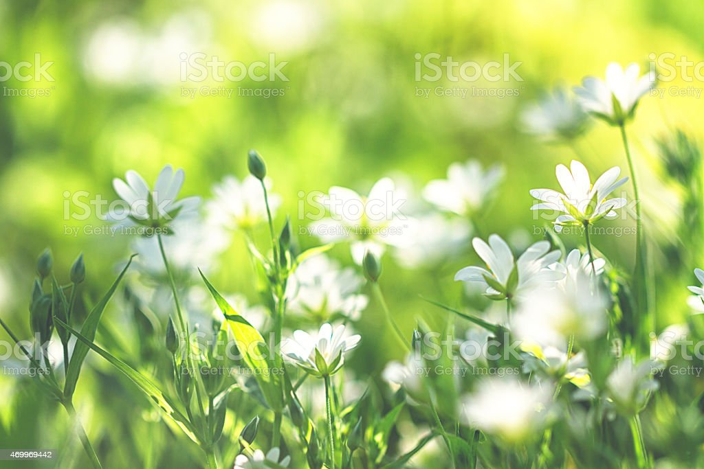 chickweed /Stellaria holostea in spring stock photo