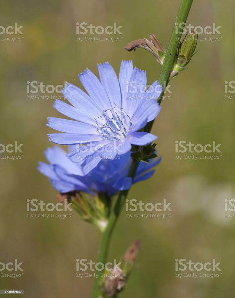 Chicory royalty-free stock photo
