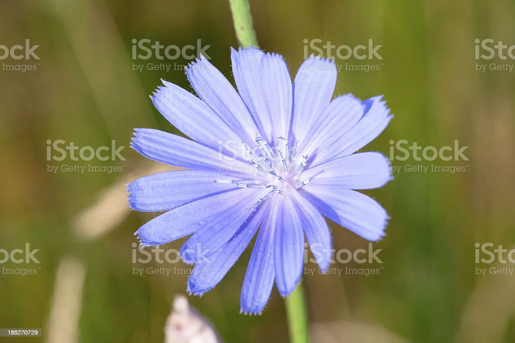 Chicory stock photo