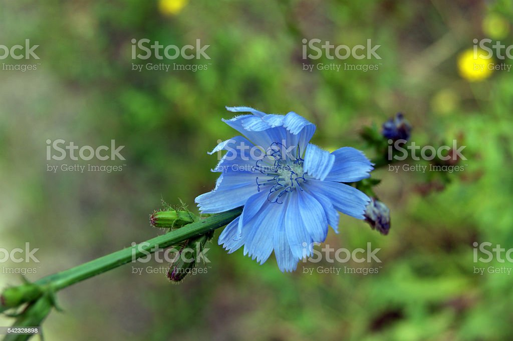 Chicory. The healthy lifestyle, medicinal herbs stock photo