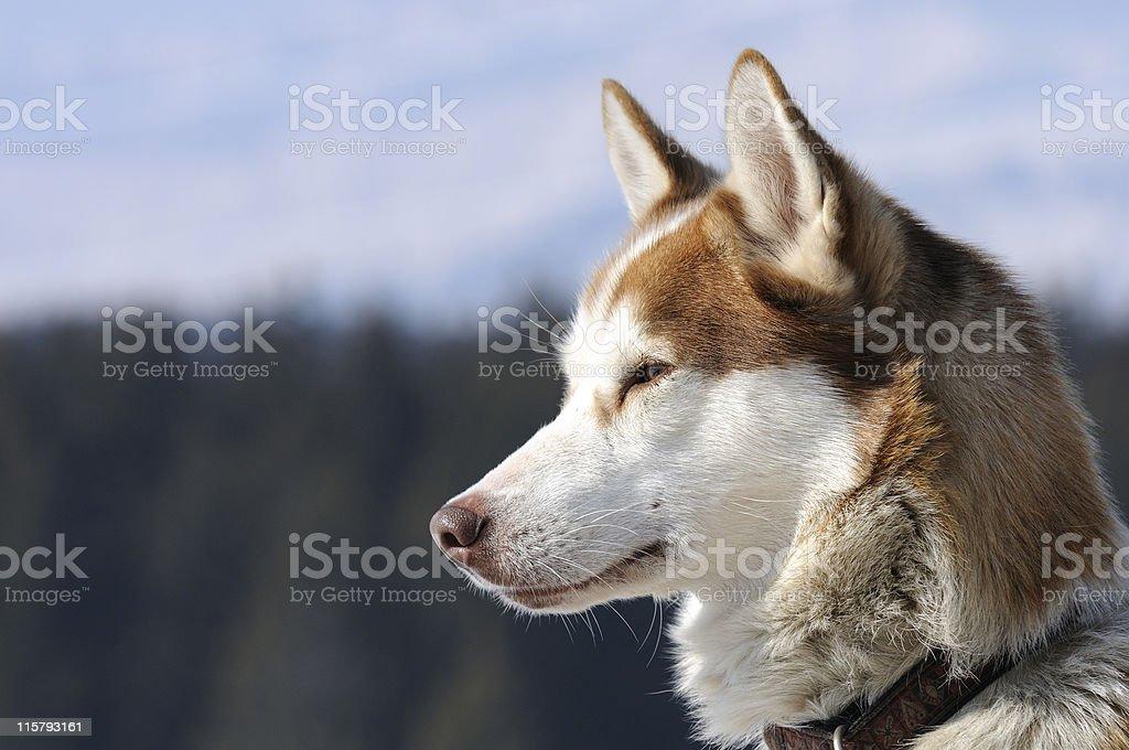 chien husky royalty-free stock photo