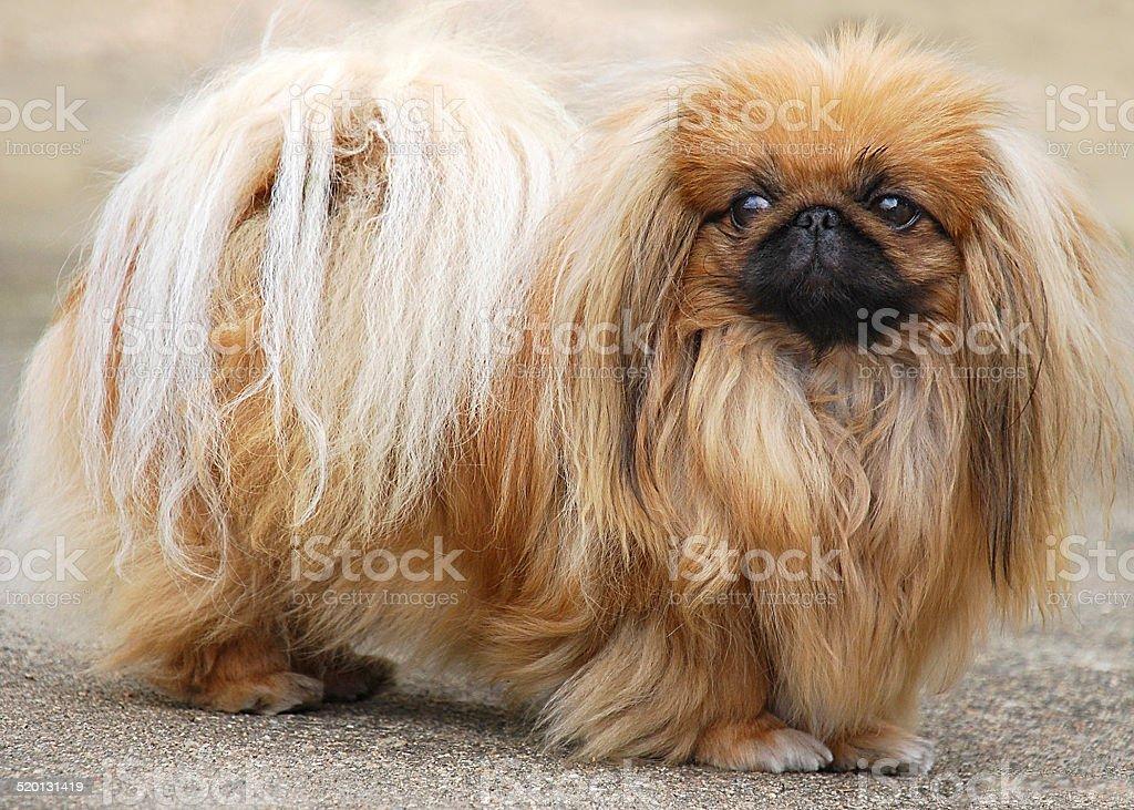 chien P?kinois beige stock photo