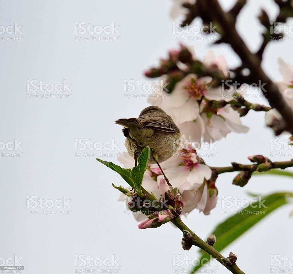 Chiffchaff bird on almond tree stock photo