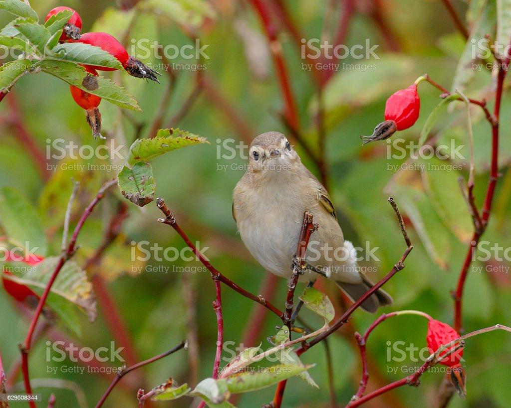 Chiffchaff bird sitting on wild rose bushes. Autumn stock photo