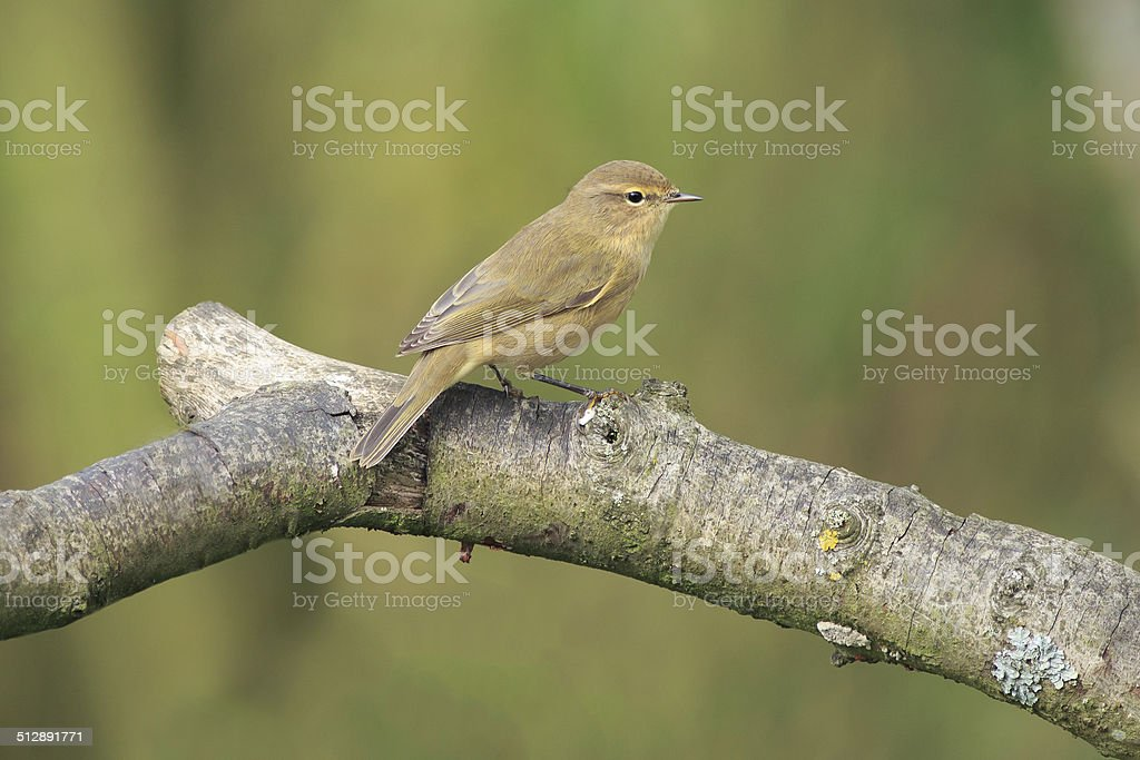 Chiffchaff in a willow tree stock photo