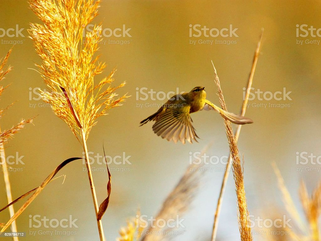 Chiffchaff (Phylloscopus collybita) in reed stock photo