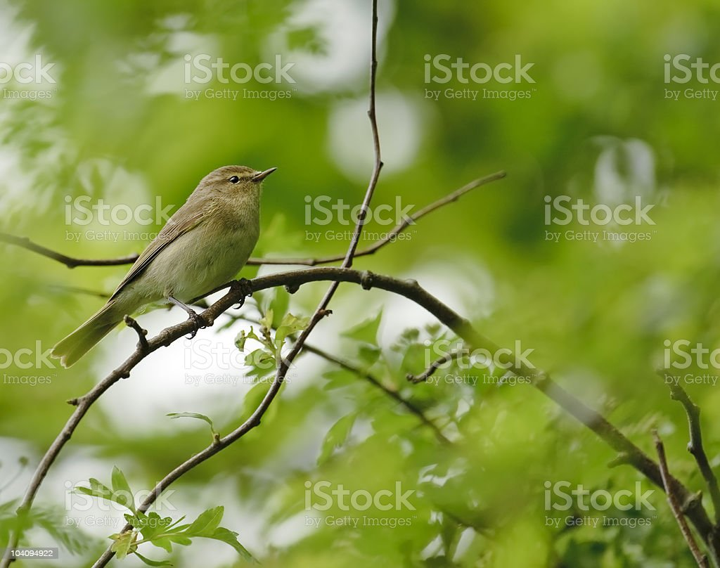 Chiffchaff in the woods stock photo
